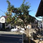 庭のミカンの木